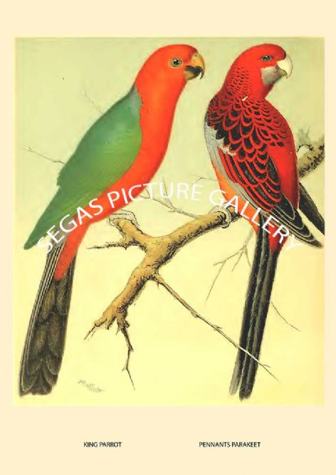 Fine art print of the King & Pennant's Parrakeet  by the artist William Rutledge (1878)
